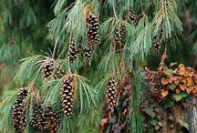 specimen evergreens / choice evergreens for low maintenance and variety of sizes and textures and shapes