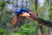 Winged Things: Peacocks / Peacocks