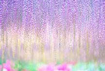 美しい藤の花々