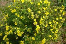 сад цветы лапчатка