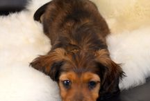 long hair miniature dachshund
