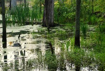 Wetlands / The most endangered ecosystems in the world. Louisiana contains 45 percent of the wetlands found in the lower states. This is because Louisiana is the drainage gateway to the Gulf of Mexico for the Lower Mississippi Regional Watershed.   Conservation of wetlands is the driving force behind Marsh Dog. www.marshdog.com