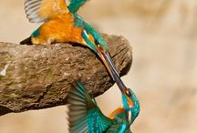 Kingfisher / Kingfisher