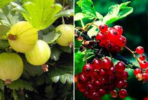 Fruit plants