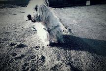 Diego / West Highland terrier, Westie, white Westie
