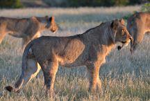 Eye See Africa - Wildlife / Animals Of Africa