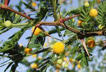 Hardy Acacias