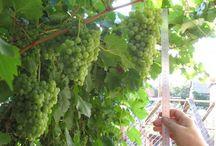Виноградная лоза / Выращивание винограда, лечение болезней виноградной лозы, общение виноградарей, обсуждение перспективных сортов винограда, рейтинги лучших сортов винограда.