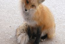 foxy / all foxes, all the time / by Laura Jansen