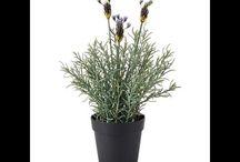 Lavender Bonsai