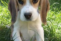 Beagles / Favourite animals
