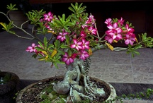 Bonsai / by Gail Parsley