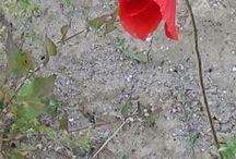 flowers / poppy - pipacs