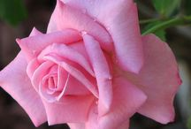 Beautiful Rose Photos / Austin Roses, Gardens, English Rose, Paintings, Prints, Photography, Antiques, Craft and Arts