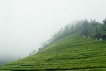 Tea Fields / by Capital Teas