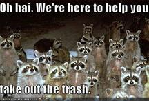 Raccoons rock