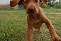 Vizlas! / We love all kinds of critters- but we have a soft spot for Vizlas!