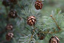 Pine and Alpines