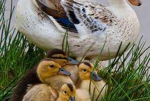 Chickens & Ducks