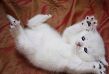 Gatos / distintas razas de gatos