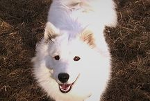Samoyed Lovely Sammy