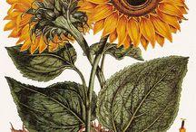 Sunflower illustration vintage