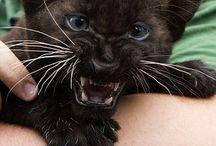 Baby Panter / Baby Panter