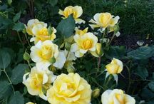 Le Rose dell'Anima.
