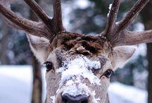 Reindeer | Deer