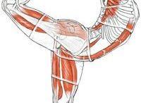 anatomie yoga