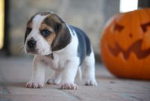 Mirea Beagle / #beagle girl