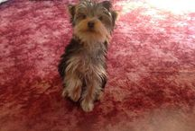 Yorkie heaven! / Save money on Yorkshire Terrier Pet Insurance by joining our group - http://bit.ly/13D8Shp