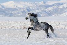 Andalusian horses