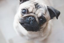 Pugs / Dogs / Animals