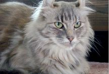 Rase de pisici/Cat breeds
