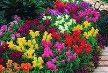 многолетние цветущие