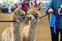 Alpaca Shows / Several times a year we go to shows all over the country.  It's a chance to meet up with friends, test our breeding programs against the competition, go on a road trip together, and LEARN A LOT!  We see a lot of beautiful alpacas, and get new insight into our industry.  And have tons of fun!