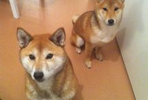 My pets / 2 lovely shiba inu and a mischievous ragdoll :)