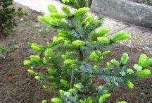 Picea bicolor
