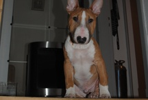 My Sam - Miniature Bull Terrier / by Lena Hørdum