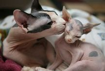 Sphynx Love / by Chelsie Young