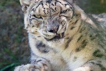 Leopards & Jaguars