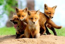 All God's Critters - Foxes, Wolves and Bears / by Kay Hough