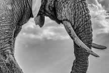 elephants tattoos