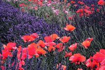 fiori, campi in fiore....