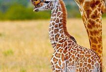 giraffe safary