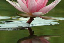 Lotus - Nuferi