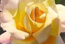 Sarmaşık güller