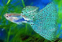 Akwaria ryby / Ryby akwariowe