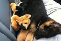 #GSD #puppy cuddled with his mini-me
